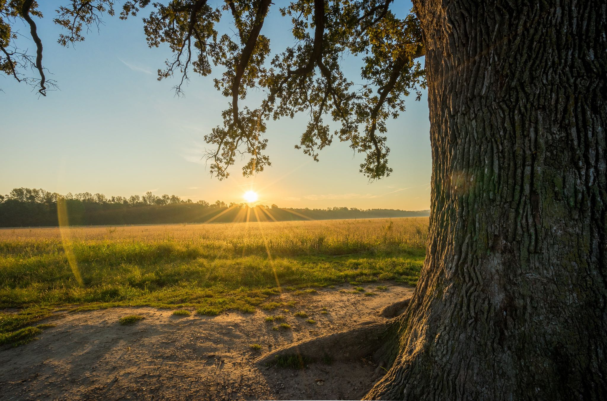 Burr Oak background image